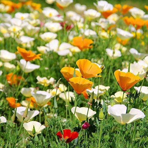 California Poppy, Doré Graines de pavot - Pavot de Californie