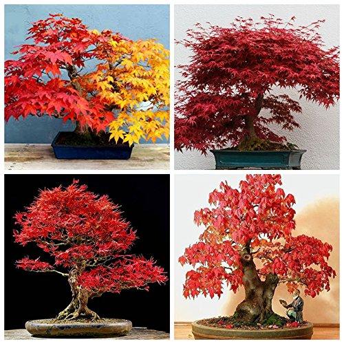 vente chaude graines d'érable rouge bonsaïs graines de l'érable arbre de maison et de jardin décoration feu chaud plante en pot mini-graines d'arbres enfant comme
