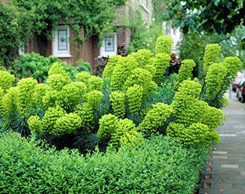 1 x Euphorbia characias 'Wulfenii'...