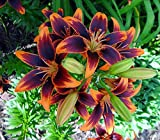 Forever Susan Asiatic Lily 3 Bulbs 14/16 cm - Crimson & Gold