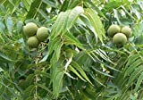 Black Walnut, Juglans Nigra, (Northern Source), Tree 3 Seeds