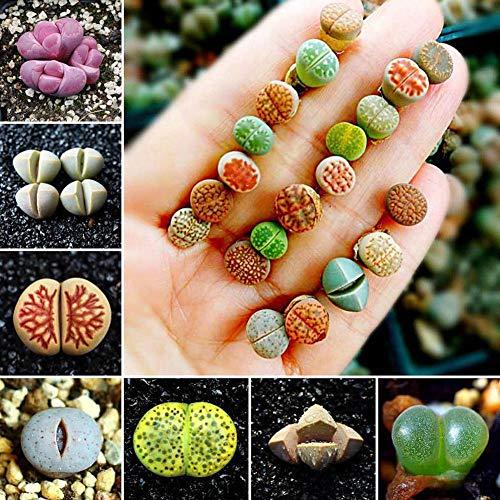Portal Cool 100Pcs: 50 / 100Pcs Semillas de Lithops raras mezcladas Piedras vivas Semillas de plantas de cactus suculentas