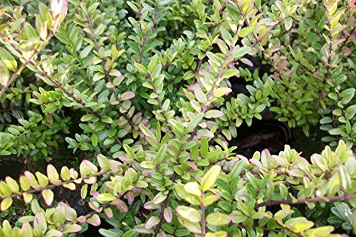 10 Stk. Heckenmyrte 'Maigrün' - (Lonicera nitida 'Maigrün')-Bodendecker im Topf 20-30 cm