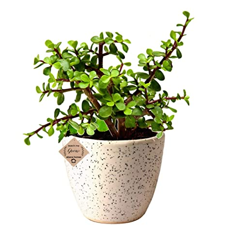 Abana Homes Good Luck Jade Plant with Pot Indoor