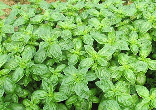 30 pcs / pack Mozzie Buster Graines d'importation Vanilla Seeds importation Lemon Basilic graines comestibles Graines Jardin Décoration Bonsai Fleur