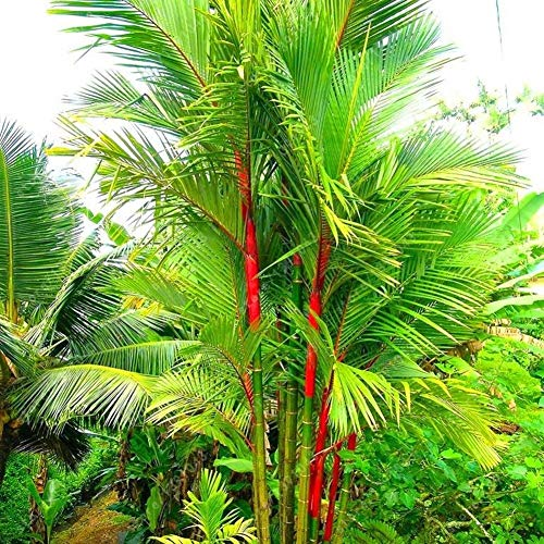 Plentree 10 Semillas de Las PC del Lã¡Piz Labial de la Palmera de Semillas Cyrtostachys Renda Ãrbol de lacre roja Plantas