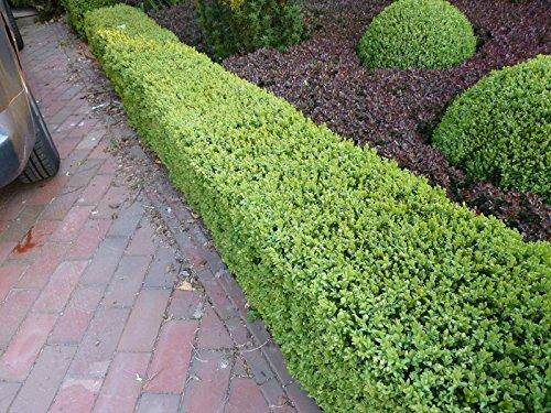 Buchsbaum Pflanzen - Buxus sempervirens - Buxbaum als Hecke oder Bodendecker - Buchsbaumkugel für Garten und Vorgarten - Buchsbaumhecke winterfest und immergrün - Top Qualität von Garten Schlüter