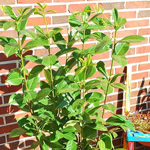 Qulista Samenhaus - Rarität 20pcs Exotisch Heckenpflanzen Kirschlorbeer Rotundifolia Pflegeleicht Blumensamen winterhart mehrjärhig