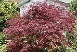 5 Semillas de Acer palmatum Dis Atropurpureum Rojo Rojo pigmeos de Laceleaf arce japonés