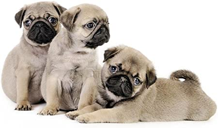 Wallmonkeys Three Pug Puppies Wall Decal Peel And Stick Graphic 12 In W X 8 In H Wm82774 Home Kitchen
