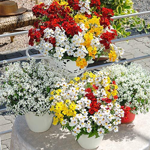 Qulista Samenhaus - Rarität Elfenspiegel Sunsatia Cherry on Ice zweifarbige Blüten, Blumensamen Rot winterhart mehrjährig für Beet, Kästen und Blumenampel