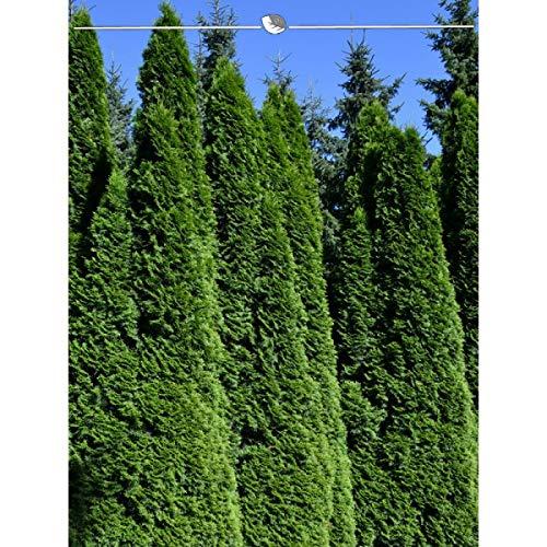 Lebensbaum Thuja Smaragd 200-225 cm. Angebot: 10 Lebensbäume. Thuja occidentalis Smaragd Konifere. Winterhart und Pflegeleicht. Immergrüne Heckenpflanzen. Thuja Hecke als Sichtschutz | Inkl. Versand