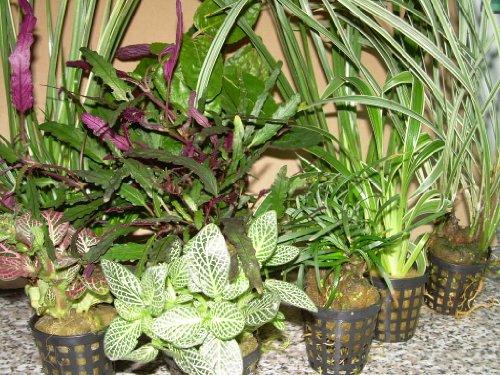 5 Topf Dekorpflanzen Mix für Paludarium, Terrarium