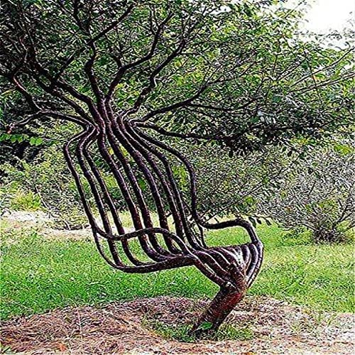 Kucus Ranking TOP5 30pcs Pack Rare Garden Outdoor Super sale period limited Chair Tree Ornamental Seed