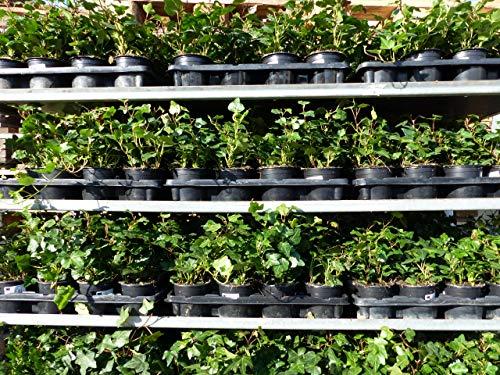 10 Stück Efeu Hedera helix 20-35 cm Heckenpflanze winterhart Kletterpflanze Hecke Sichtschutz blickdicht