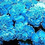 QHYDZ Garden-100pcs graines d'oeillets géantes, graines de plantes aromatiques avec des fleurs énormes et doubles pour bonsaï, jardin, balcon, pot de patio