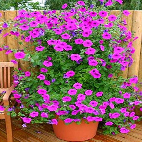 Heirloom Hanging Petunia Graines mixtes Ga 100 Pcs / Paquet Très beau jardin Fleurs Illuminez votre semences de jardin d'ornement Bonsai.