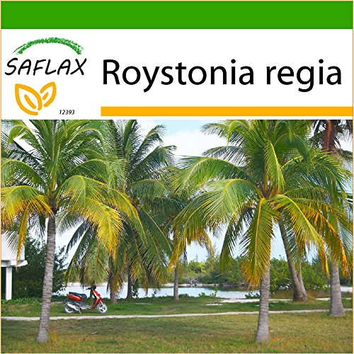 SAFLAX - Cubanische Königspalme - 8 Samen - Mit keimfreiem Anzuchtsubstrat - Roystonia regia