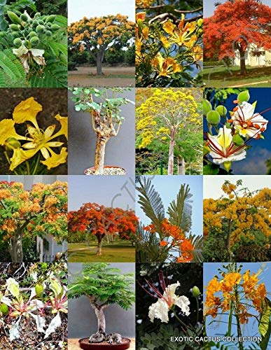 PLAT FIRM Germinación de Las Semillas: DELONIX ÃRBOL RARA Mezcla de Flores de Plantas bonsái enormes fragantes flamboyán 10 Semillas de áRboles