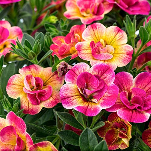 AIMADO Samen-50 Pcs Chameleon-Zauberglöckchen Double Pink Yellow Blumensamen,Blüten bis zum Herbst,Blumen Saatgut Pflegeleicht für Kübel und größere Kästen