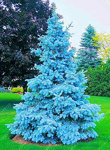 100 graines d'arbres rares graines de l'épinette bleue du Colorado à feuilles persistantes PICEA PUNGENS GLAUCA bon pour la culture en pots, jardinières de pot de fleur