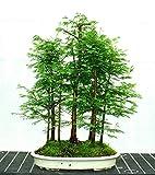(Metasequoia D * Ambizu *) 50 + 50 PC secoya de amanecer Bosque Bonsai Semillas Bonsái Metasequoia glyptostroboides