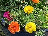 Semillas de flores Pinkdose®: después de la planta de flor de mediodía Semillas de jardín Semillas de plantas para minipisos (6 paquetes) Semillas de plantas de jardín