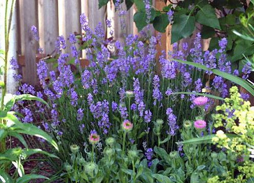 Findlavender - Lavender French Provence - Very Fragrant - 4' Size Pot - Zones 5-11 - Bee Friendly -...