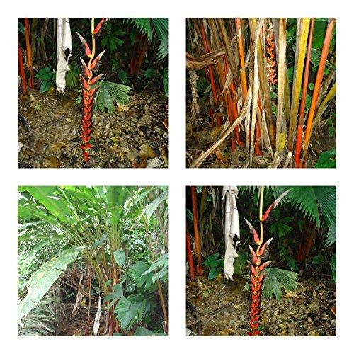Heliconia Harlingii (lipstick) - spectaculaire bloemen - 5 zaden - potplant - zeer zeldzaam!