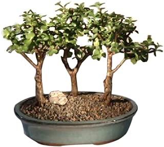 Bonsaiboy Baby Jade 3 Bonsai Tree Group (portulacaria afra)