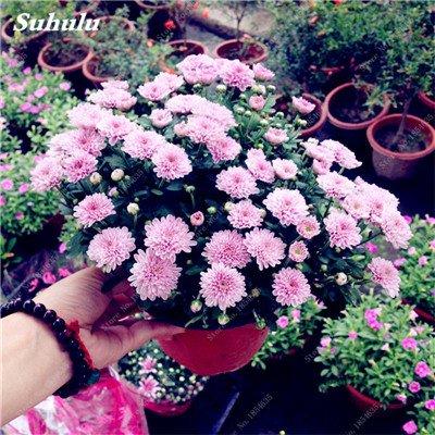 Grosses soldes! 50 Pcs Daisy Graines de fleurs crème glacée parfum de fleurs en pot Chrysanthemum jardin Décoration Bonsai Graines de fleurs 8