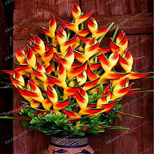 Go Garden 100 intérieur Plante en pot fleur d'oranger Strelitzia Reginae Graines Oiseau de paradis