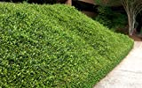 Asiatic Jasmine Minima - 60 Live Plants - Asian Ground Cover Fully Rooted with Soil