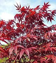Shopmeeko 30 stücke Japanische Rote Ahorn pflanzen Selten