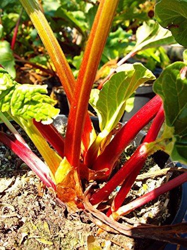Holsteiner Blut Rhabarber, rot, Rhabarberpflanze, Busch, Rheum raponticum, Obststaude winterhart, im Topf, 30 cm