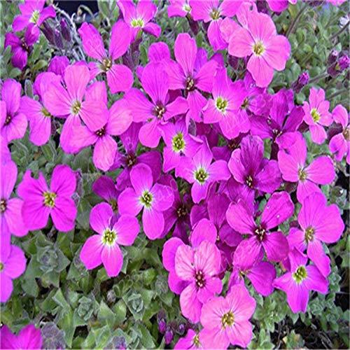 150pcs Felsen-Kresse, Aubrieta Cascade Lila Flower Bonsais, rehsicher Superb ausdauernde Bodendecker Hausgarten: 1