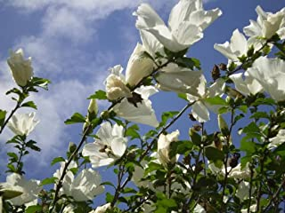 50 WHITE DOUBLE ROSE OF SHARON HIBISCUS Syriacus Flower Tree Bush Shrub Seeds Mix *Comb S/H