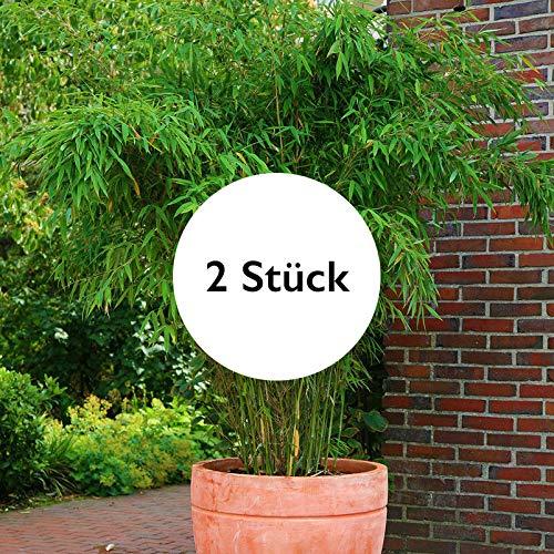 Pflanzen Kölle 2er-Set Bambus-Kollektion Fargesia Jumbo, Höhe 60-80 cm, im 7,5 Liter Topf