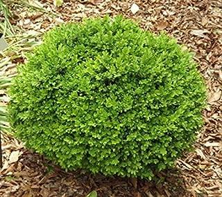 1 True Dwarf English Boxwood Buxus Live Plant Trade Gallon Pot