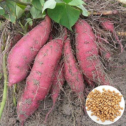 Semillas para plantar, 200 unidades/bolsa de semillas de patata dulce suculentas no transgénicos compactas semillas vegetales no transgénicos para jardín - semillas de patata dulce