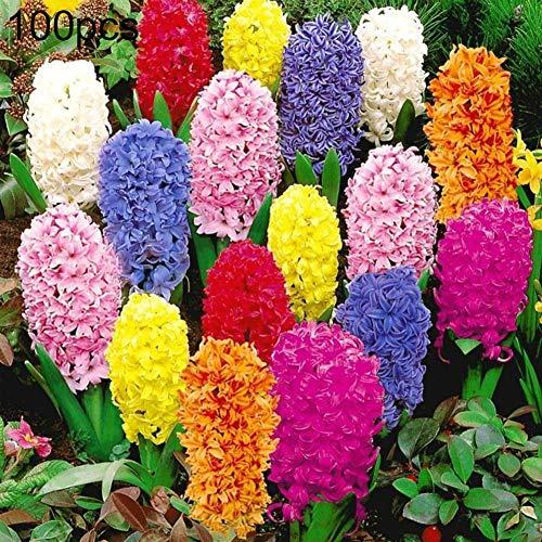 Zhouba Hyazinthe Samen für Gartenpflanze, 100 Stück, gemischte Farben, Hyazinthe, Blumensamen, Bonsai-Pflanze, Zuhause, Garten, Hof, Dekoration