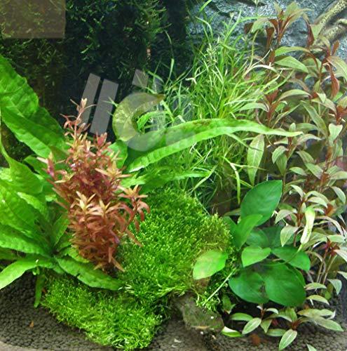 Mühlan – über 120 Aquarium-Pflanzen in 16 Bunde – großes farbiges Sortiment für 200 Liter Aquarium - 2