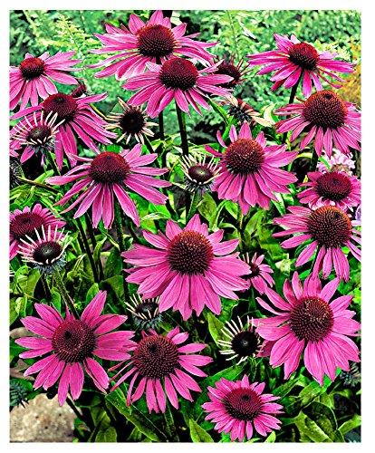 Lot de 20 Graines de Rudbeckie pourpre (Echinacea) Fleurs Vivaces Attire Papillons