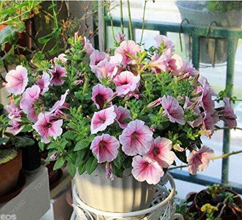 100pcs Petunia Graines Hanging Petunia mixtes Graines Vagues de couleurs belles fleurs de jardin usine Livraison gratuite Blanc