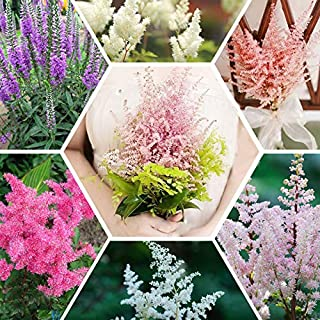 Cineraria Seed Hibiscus. Flower Seeds Hot Sale 6 Color Available Categories Astilbe Chinensis Balcony Garden Potted Chinese Astilbe 120PCS (Mix Color)