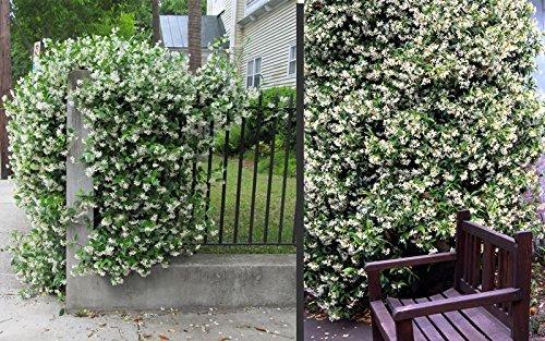 Sternjasmin ca. 150-160 cm - Immergrün, Duftend & Winterhart Trachelospermum jasminoides