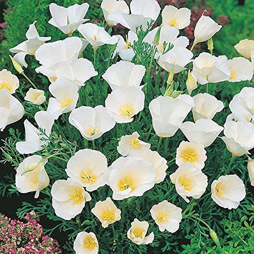 Derlam Samenhaus-100 Pcs Mohn Goldmohn Ivory Castle außergewöhnliche blumensamen mehrjährig winterhart Blumen weiß Saatgut für Balkon Garten