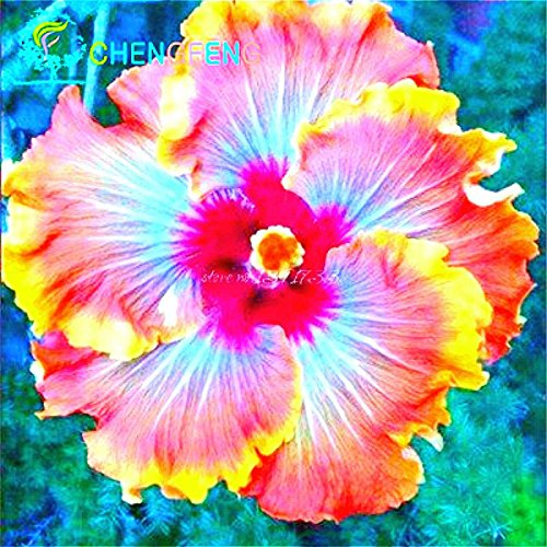 100 Riesen-Hibiskus-Blumensamen Indoor-Mix Farbe Seed DIY Hausgarten Topf oder Hof Blumenpflanze Staude Topf