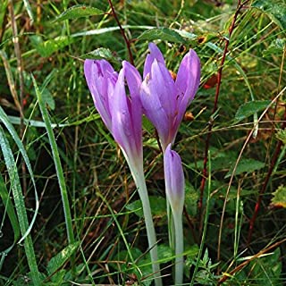 Nianyan 20 Meadow Saffron bulbs/Colchicum Autumnale/Autumn Crocus/Colchicine Flower(not seeds)