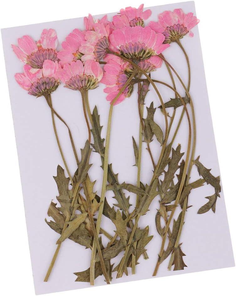 1-2,5 cm Rosa Homyl 12 St/ück Nat/ürliche Trockenblumen echte getrocknete Bl/üten Chrysantheme Mit Bl/ättern Verzierung Dekoration